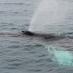 buckelwal-beim-blas_0