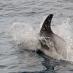 Weissschnauzendelfin