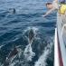 delfine-auf-bugwelle